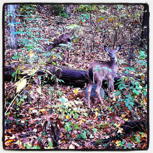 Deer in the Arb